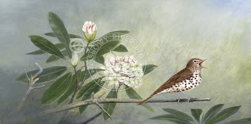 Wood Thrush & Rhododendron