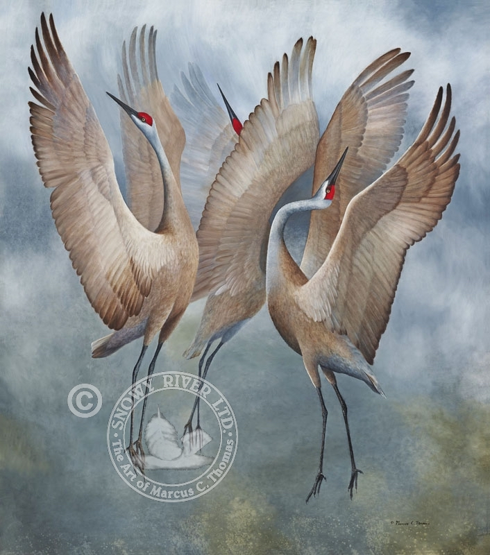 The Dance - Sandhill Cranes